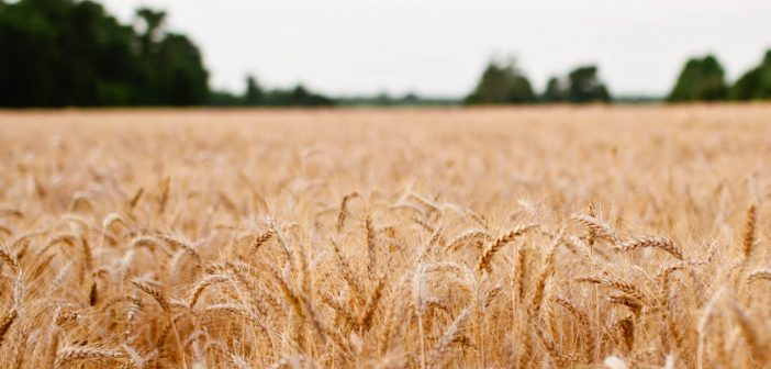 Blame Canada? Understanding wheat trade on the Northern Great Plains