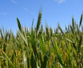 Wheat Market Update, June 2017: Global Output Up Again, Quality Issues Remain