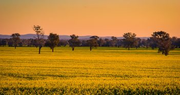 Is Canola the Next Big Thing in the northern Great Plains?
