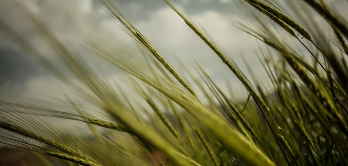 Barley plants