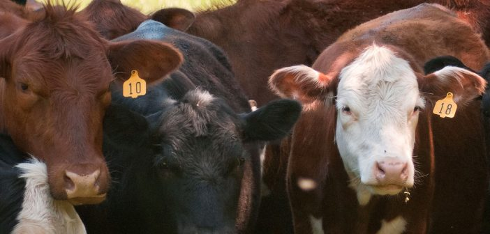 (Podcast) Episode 031: Recession Impacts on Cattle Markets