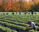 Do Migrant Farm Workers Cause Increased Crime?